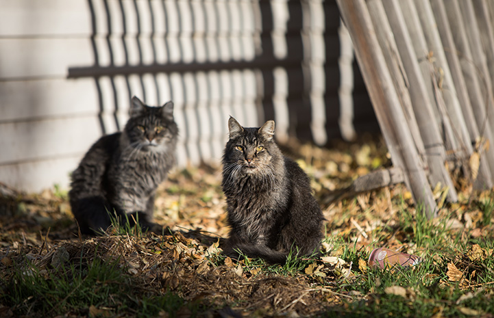 Two fluffy brown tabby community cats outside on a lawn surrounded by fallen leaves