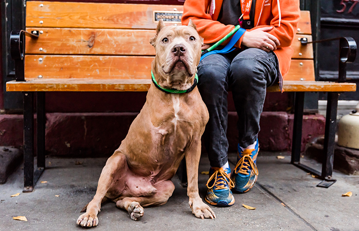 Blue, a gray colored three-legged pit bull terrier with cropped ears, sitting in front of a person sitting on a bench