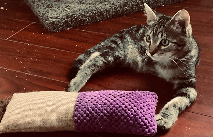 Maximus the tabby kitten lying on the floor next to a purple fabric and sisal kick toy