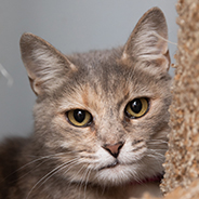 Adopt Toothless the cat available for adoption from Salt Lake City