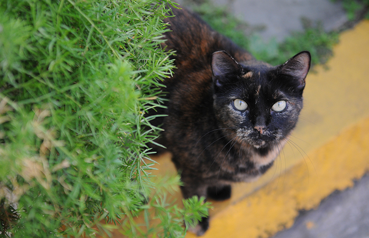 Ear tipped feral tortoiseshell cat next to a green plant