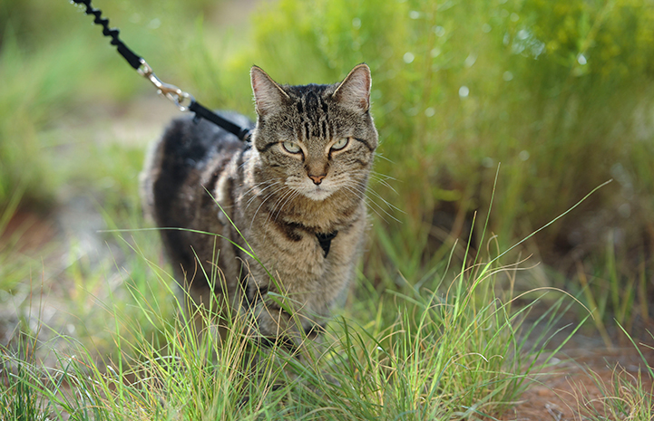 Ooms the brown tabby cat taking a walk outside on a leash