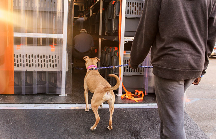 Big brown dog being led on a leash into the back of a transport truck holding big kennels