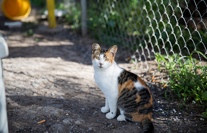 Ear-tipped calico community cat sitting outside in front of a fence