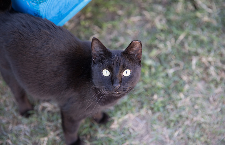 Ear-tipped black community cat
