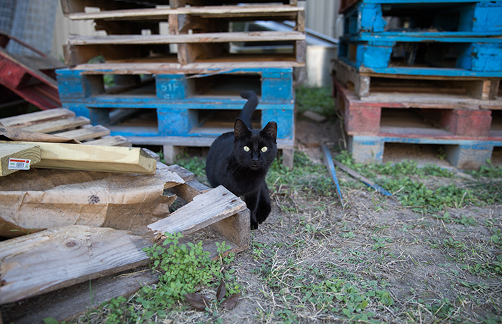 Black ear-tipped community cat in front of some stacked wooden pallets