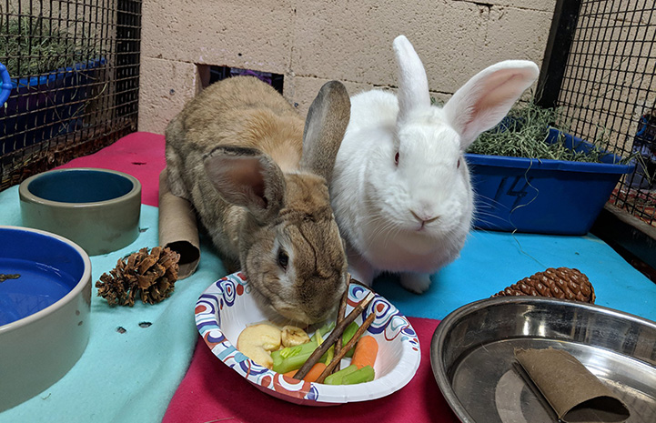 Two rabbits sharing fresh product treats from a bowl