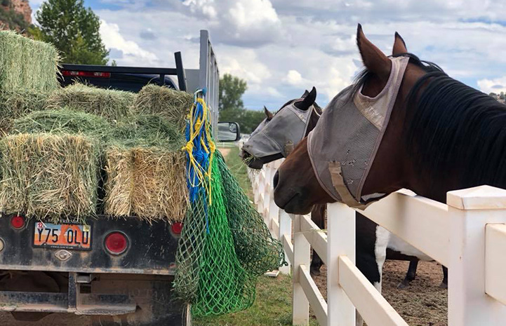 Two horses wearing fly masks sneaking hay out of delivery truck