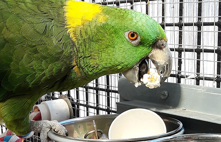Green and yellow parrot eating popcorn out of a metal bowl