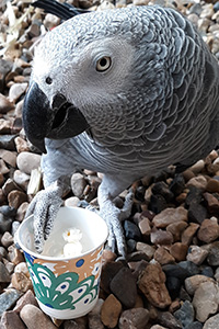 Amazon grey parrot eating popcorn out of a cup
