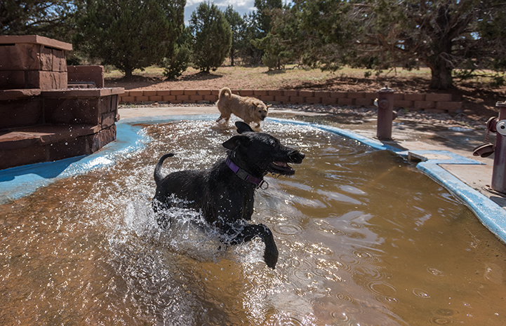 Two dogs playing in a pool filled with water in the summer heat