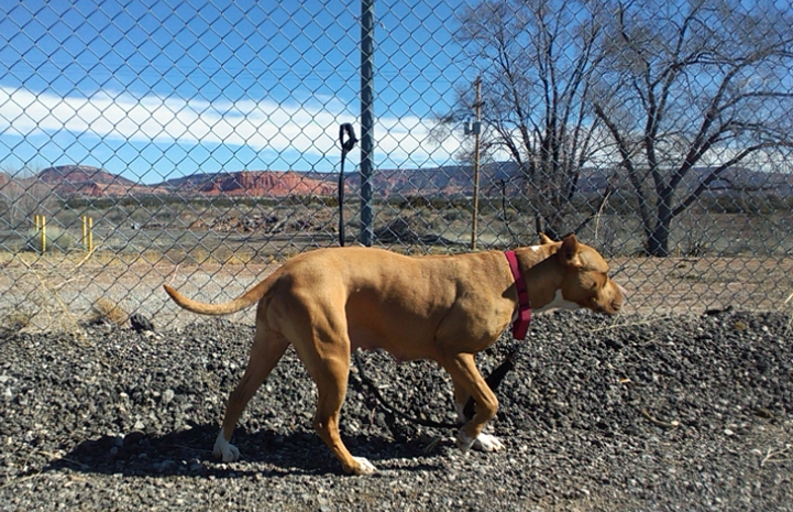 Bella the pit bull terrier with her leash attached to a chain link fence