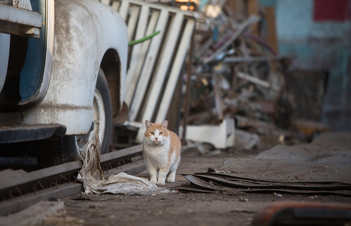 Cream and white community cat in a junk yard