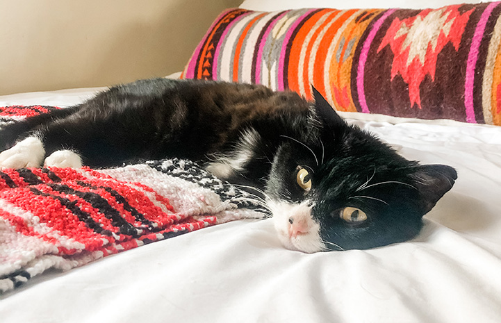Rexie Roo, a cat with two legs, lying on a bed with a colorful pillow behind him