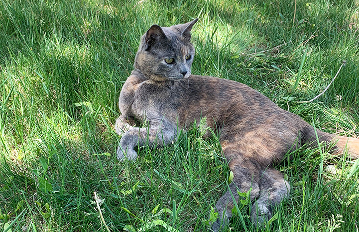 Cinnamon the cat lying in some green grass