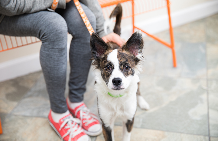 Small brindle brown and white dog on an orange leash with a person wearing red sneakers sitting on a bench behind him