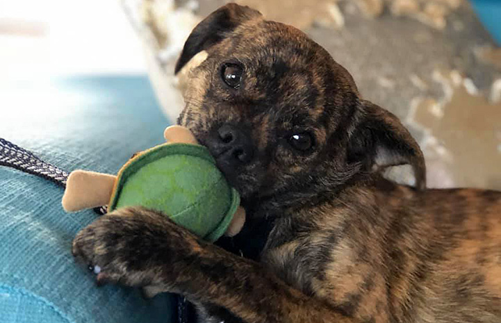 Mustard the brindle Chihuahua dog chewing on a toy