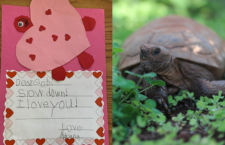 Handmade valentine to Gobi the tortoise next to a photo of Gobi