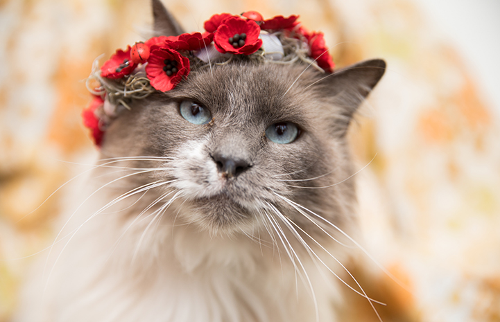 Siamese mix longhair cat with blue eyes wearing a red flower crown