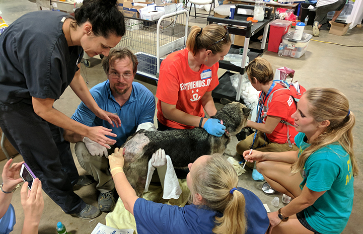 A dog receiving veterinary care at the at the Rescue and Reunite Center after Hurricane Harvey