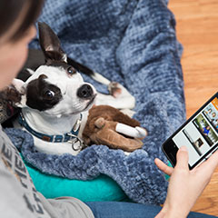 Small black and white dog on girl's lap looking at an app on a smart phone