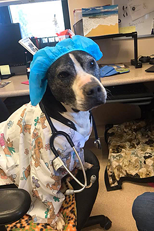 Curly the Vicktory dog wore a nurse costume this past Halloween