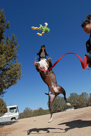 Denzel the Vicktory dog jumping up into the air for a toy
