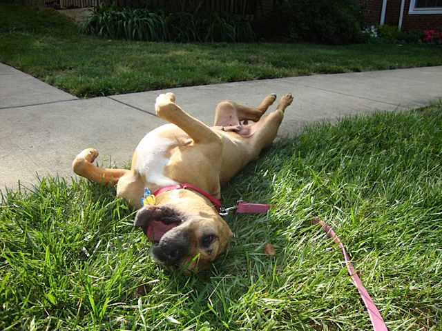 Georgia the Vicktory dog rolling in the grass and living life to the fullest