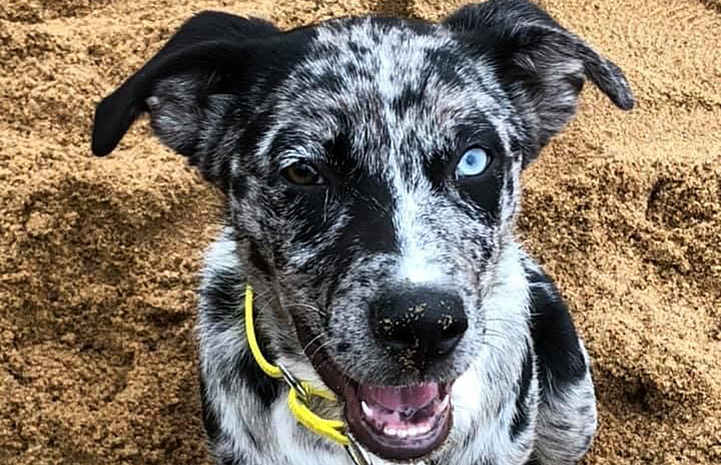 Sunny the speckled puppy with two different colored eyes