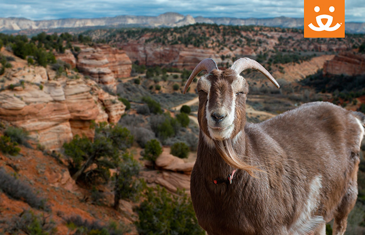 Smiling goat in front of Angel Canyon background with a Best Friends logo
