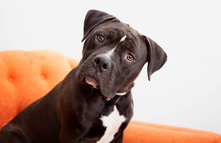 Flapjack, the dark gray and white pit bull type dog, sitting with his head tilted on an orange chair