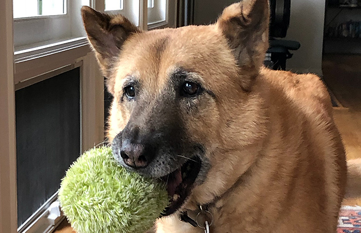 Samantha the German shepherd mix holding a toy in her mouth
