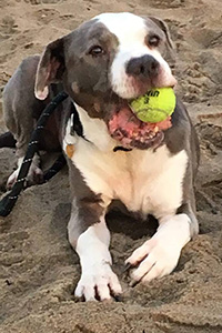 Harey the dog with a tennis ball in his mouth lying in the sand at the beach