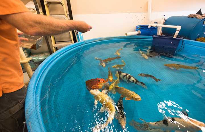 Keeping koi fish healthy is a big job and Doug Stockdale is a big part of that effort