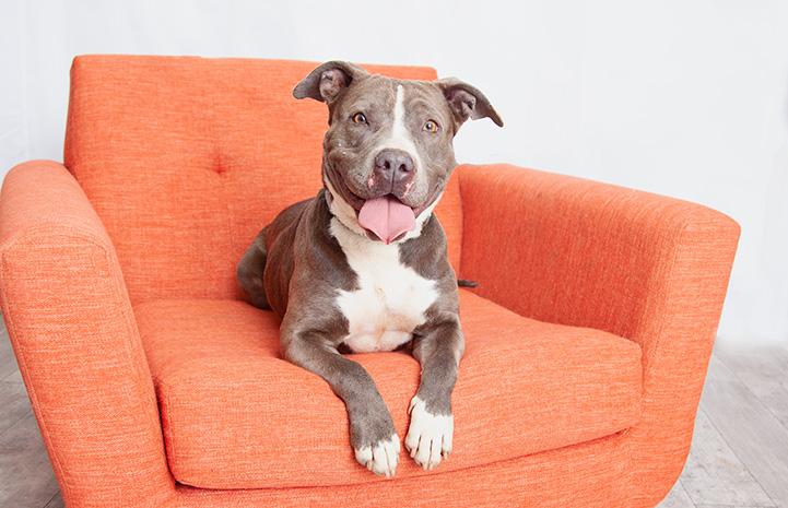 March the dog lying on a big orange chair