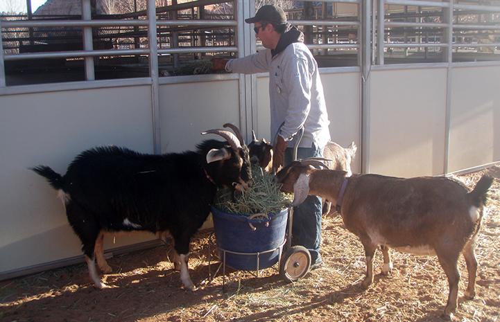 Volunteer Tyler Bernius feeding hay to multiple goats