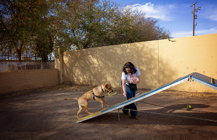 Volunteer Kristin Biggs doing agility training with Yule the dog