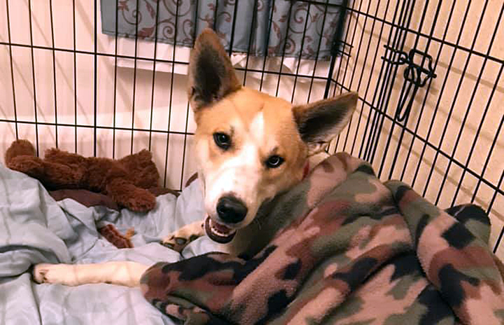 Wendy the dog being fostered by a volunteer, in a crate and covered with a camouflage colored blanket