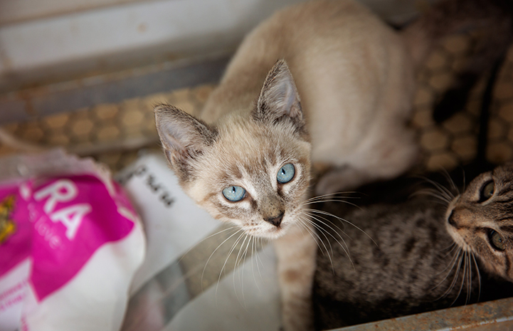 Siamese mix kitten with blue eyes who is being fostered by Michael Moran