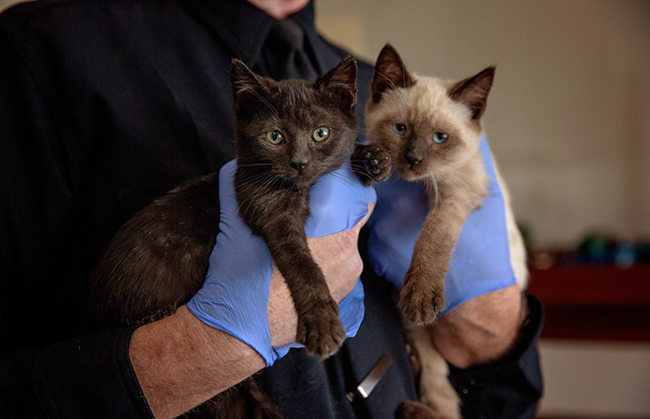 Blue rubber gloved hands holding a seal-point colored and a black kitten