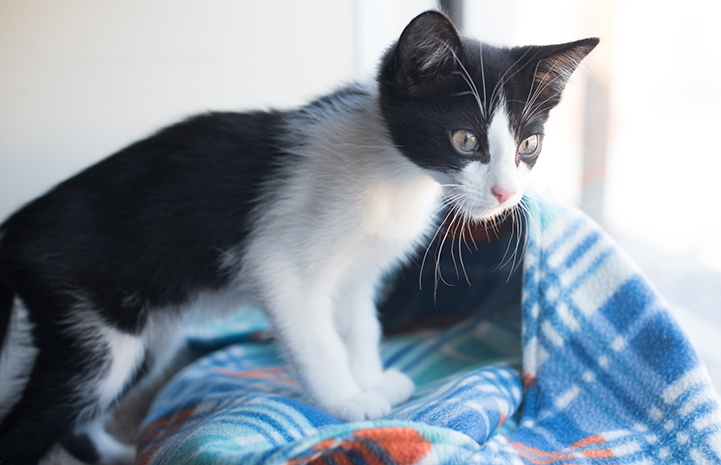 Black and white kitten on a blue plaid blanket looking out a window
