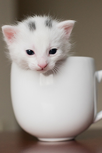 White kitten with gray spots on his head in a teacup