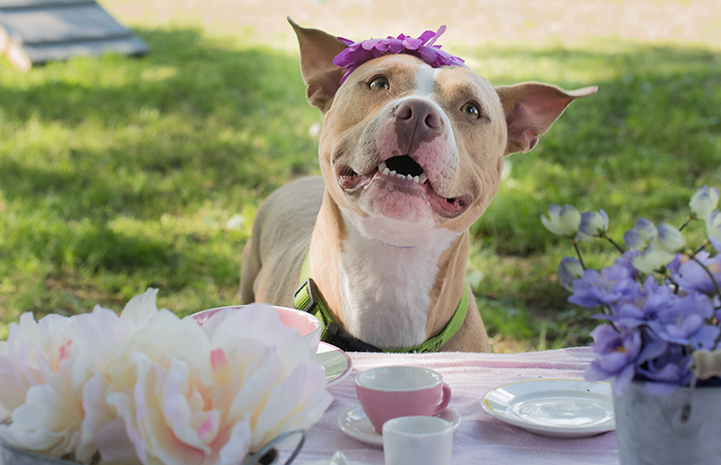 Duchess the dog at a tea party