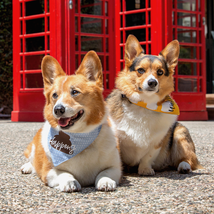 Two corgis who are waiting to go for a walk