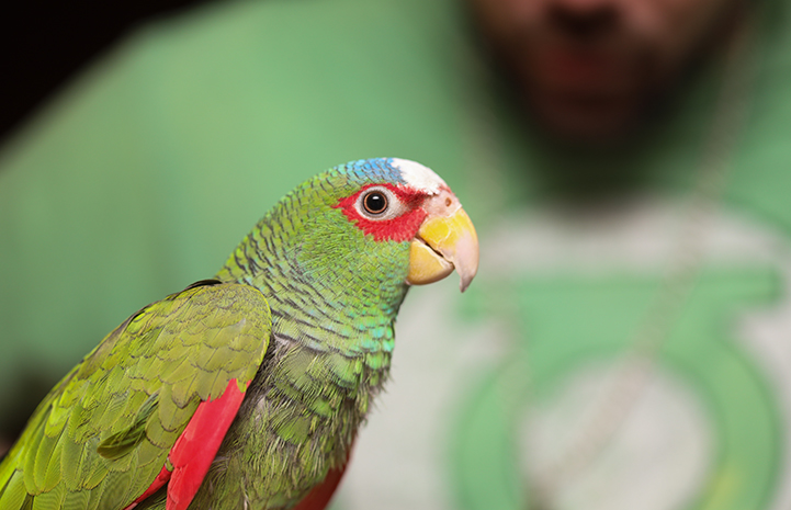 Though Jujubean the white-fronted Amazon parrot didn't respond much to his name at first, he quickly learned what Emily and Jason meant when they said his name