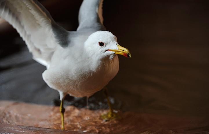 Finn, a California gull