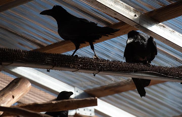 Ravens sitting on a perch