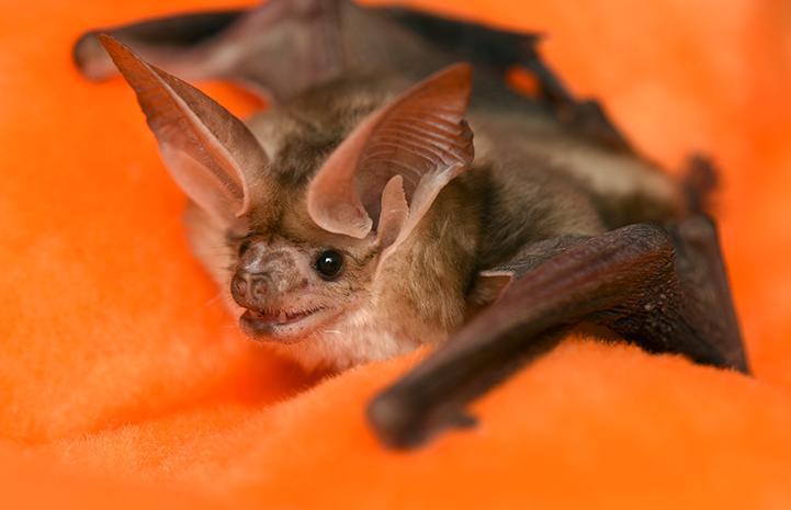 Sweet Cheeks, the pallid bat
