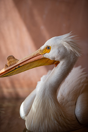 The pelican rehabilitated at Wild Friends