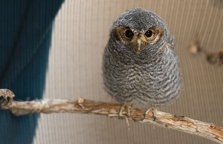 Pigmy owl on a branch